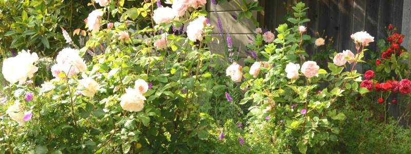 Rose Court Cottage Garden French Lace Rose Evelyn Eglantyne