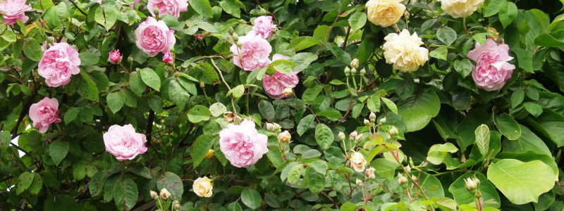 Rose Court Cottage Garden Ispahan Buff Beauty Climbing Roses